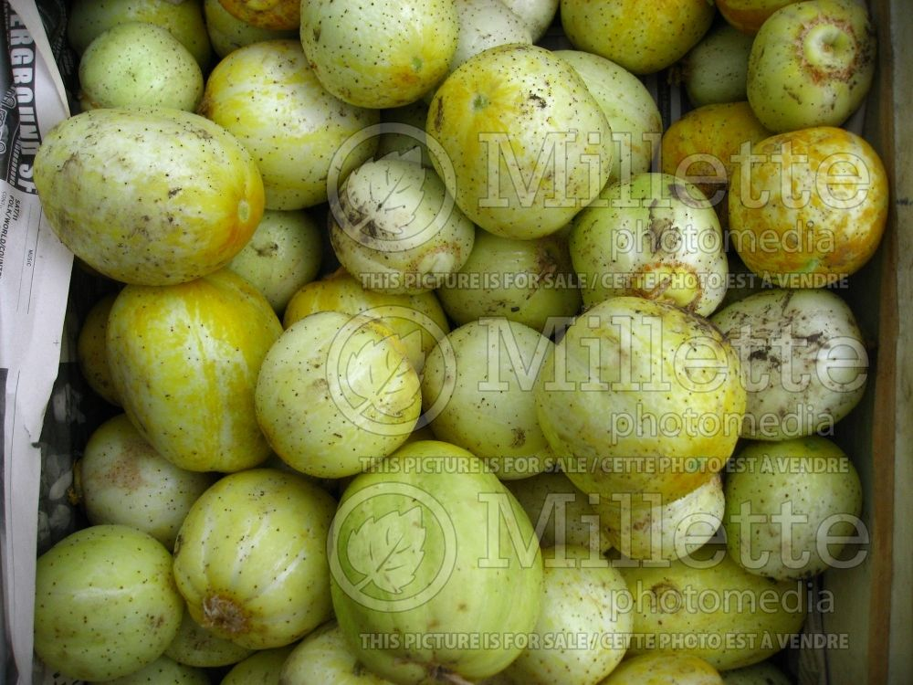Cucumis Lemon (Cucumber vegetable) 3
