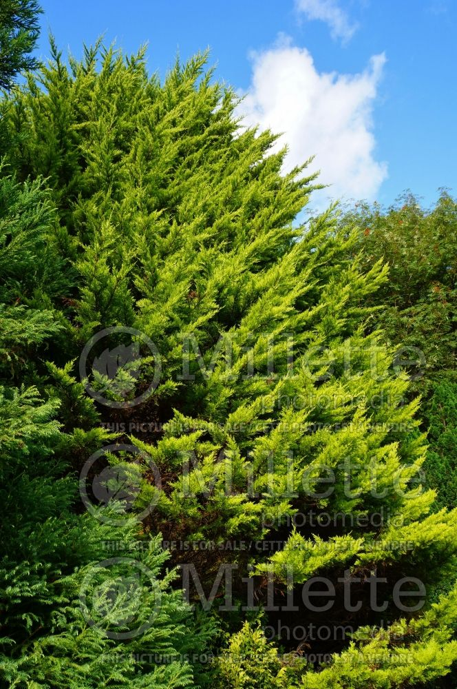Cupressus Donard Gold (Cypress conifer) 1