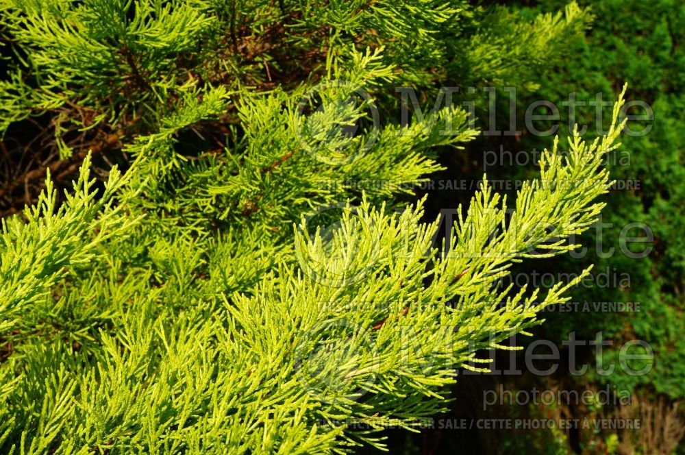 Cupressus Donard Gold (Cypress conifer) 2