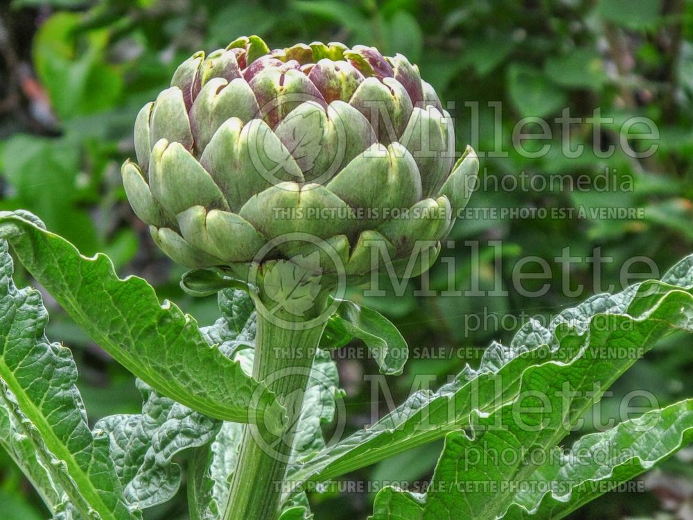 Cynara scolymus (Artichoke vegetable) 7