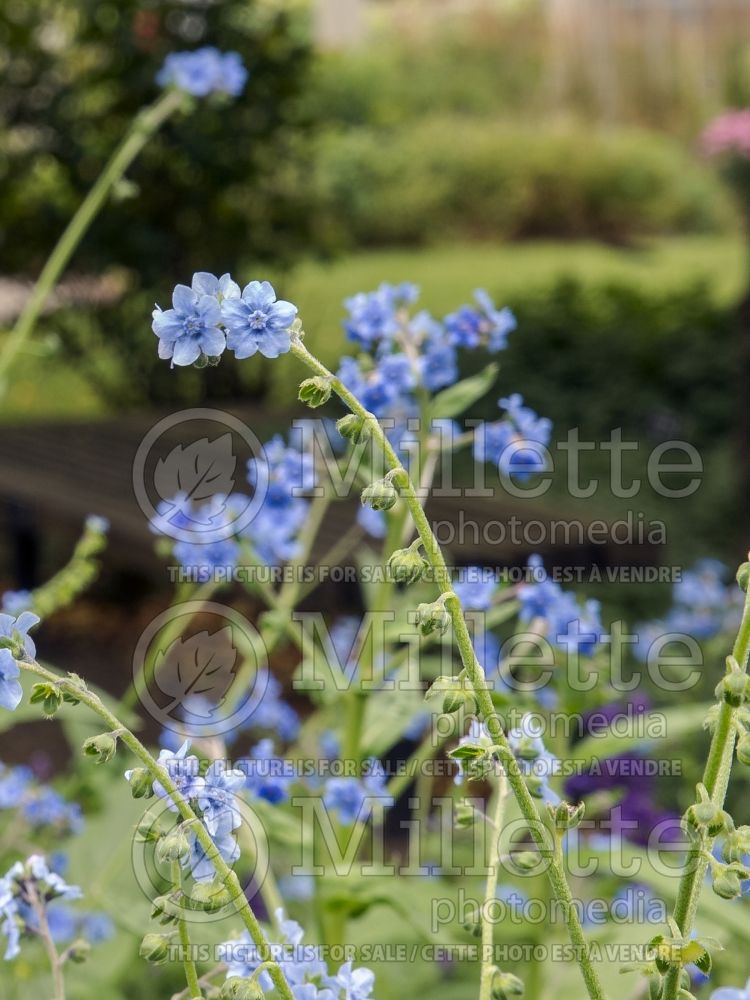 Cynoglossum Firmament (Chinese Forget-Me-Not) 2