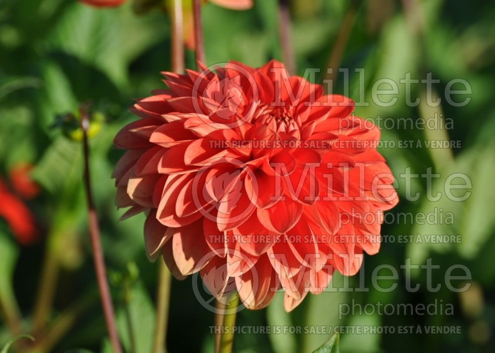 Dahlia Happy Halloween  (decorative Dahlia) 1