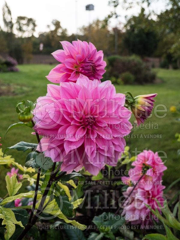 Dahlia Jersey Beauty (Decorative Dahlia)  3