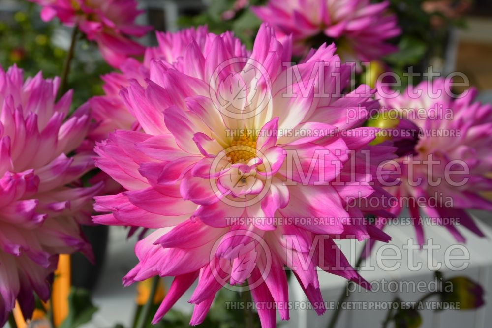 Dahlia Painter Pink Kisses (Dahlia) 1