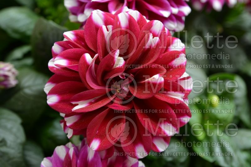 Dahlia Starsister Red Stripes (Decorative Dahlia)  1