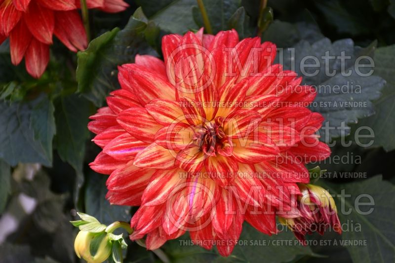 Dahlia XXL Tabasco (Waterlily Dahlia)  1