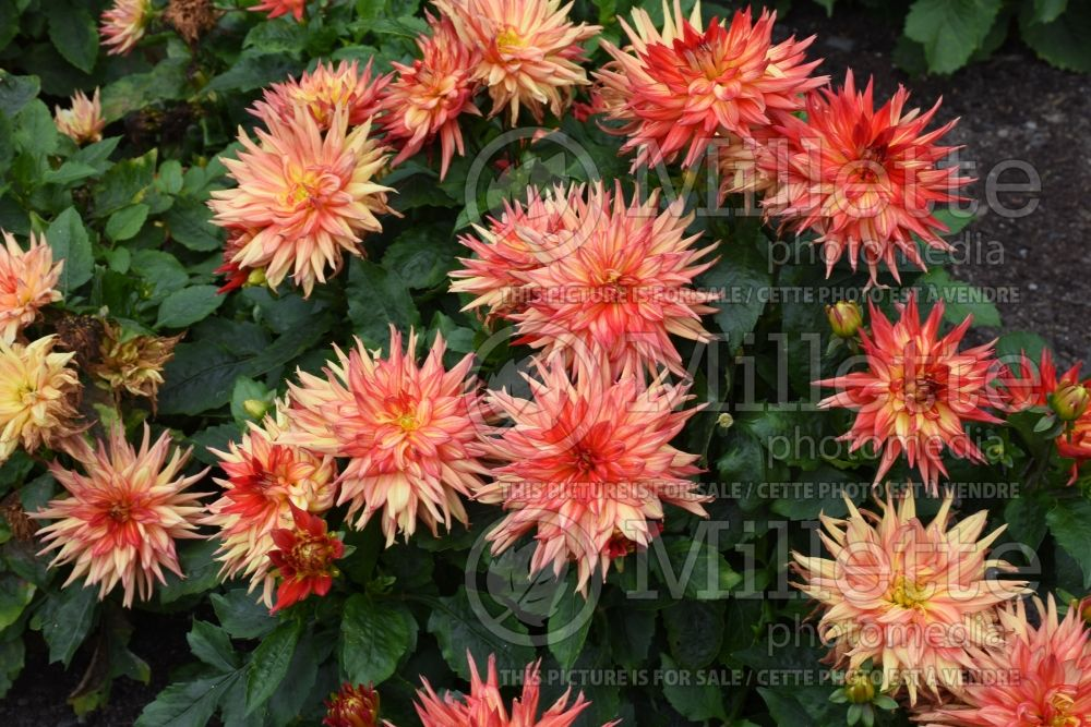 Dahlia XXL Tabasco (Waterlily Dahlia)  2