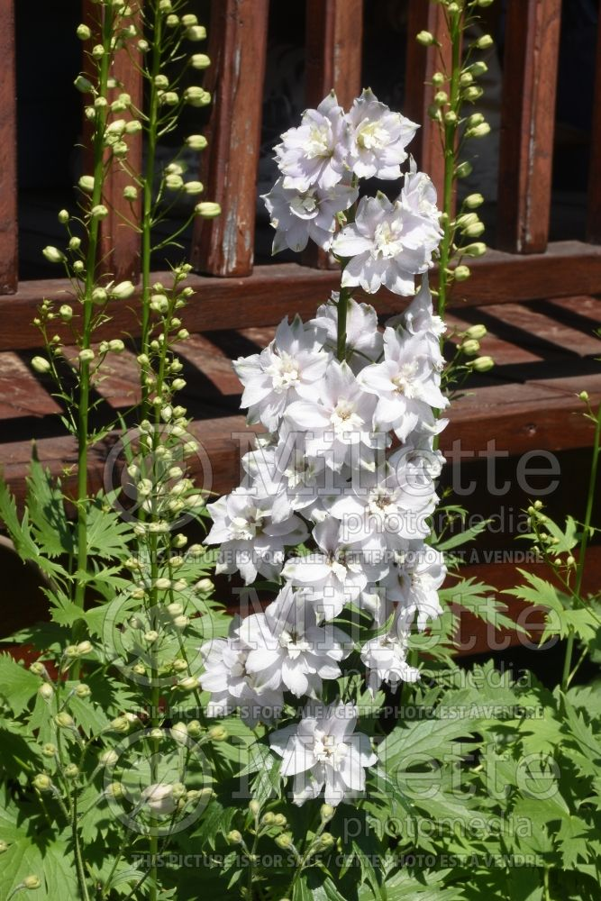 Delphinium Magic Fountains Cherry Blossom (Larkspur) 2