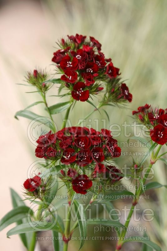 Dianthus Heart Attack (Sweet William) 7
