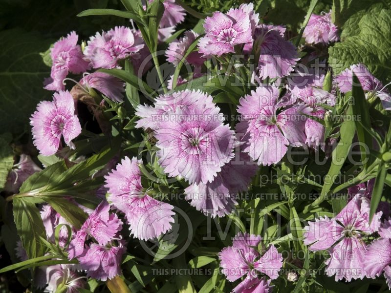Dianthus Floral Lace Light Pink (Garden Pinks) 1