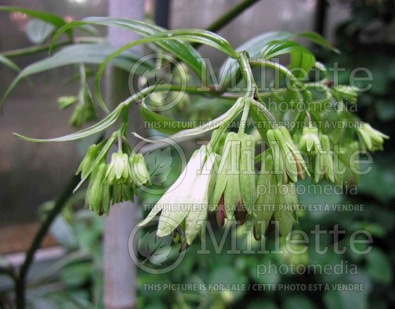 Disporum Night Heron (Chinese fairy bells) 2