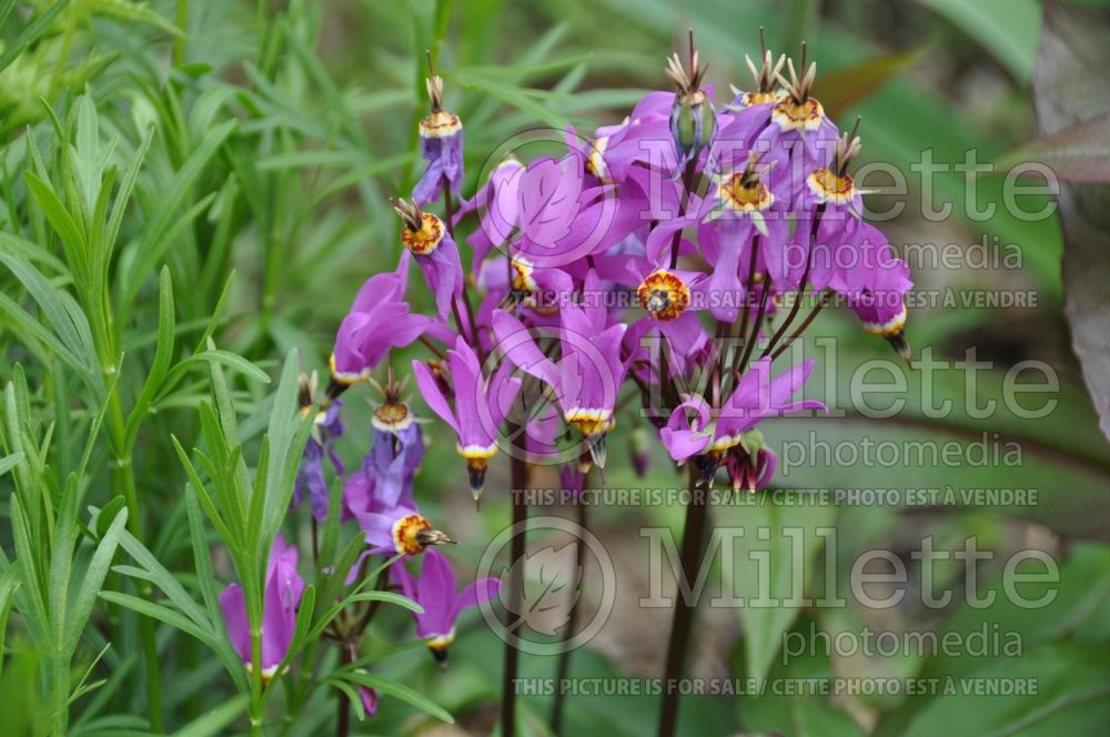 Dodecatheon meadia (Shooting Star) 3