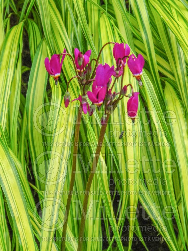 Dodecatheon meadia (Shooting Star) 5