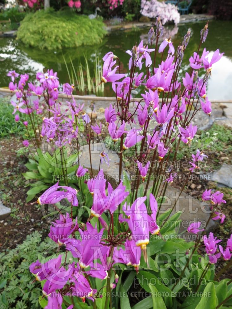 Dodecatheon meadia (Shooting Star) 4