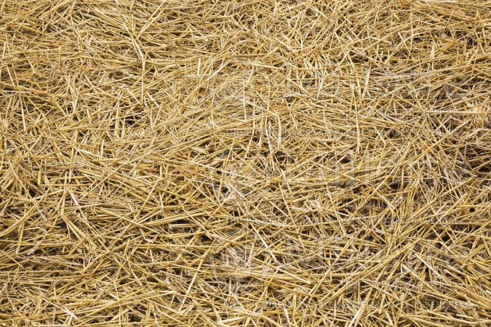 Dried stalks of straw in garden plot 2