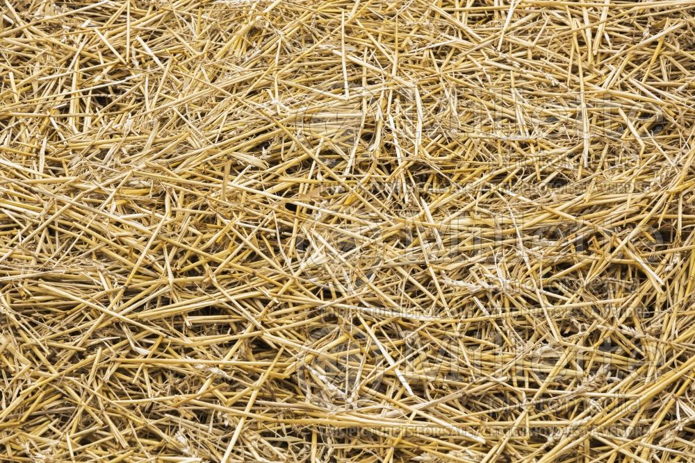 Dried stalks of straw in garden plot 1