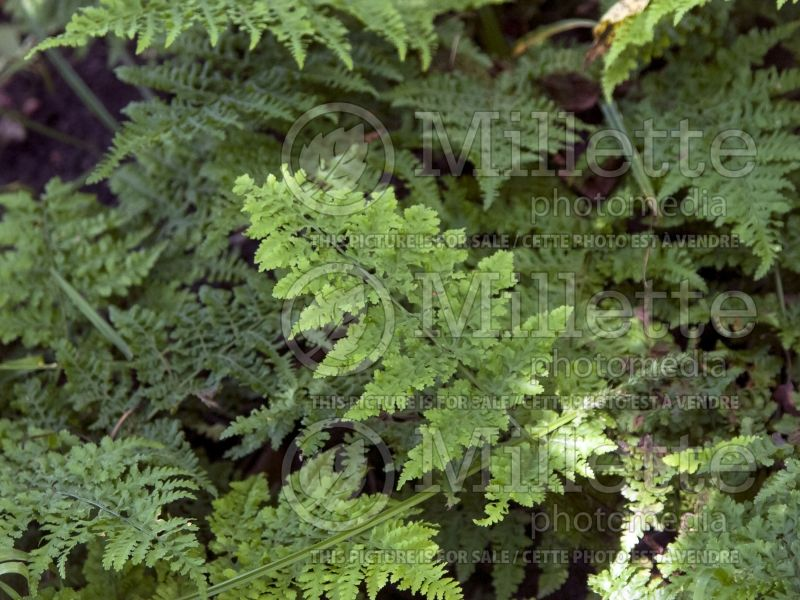 Dryopteris Crispa Whiteside (Male fern) 2