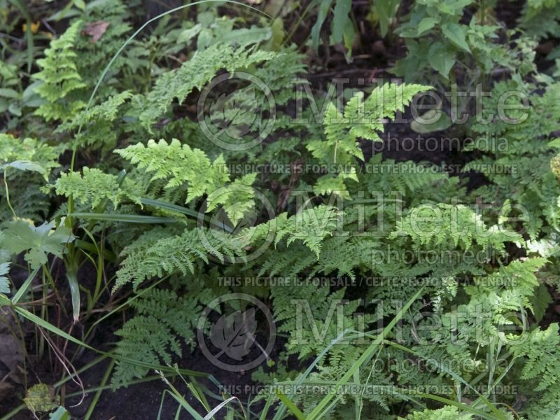 Dryopteris Crispa Whiteside (Male fern) 1