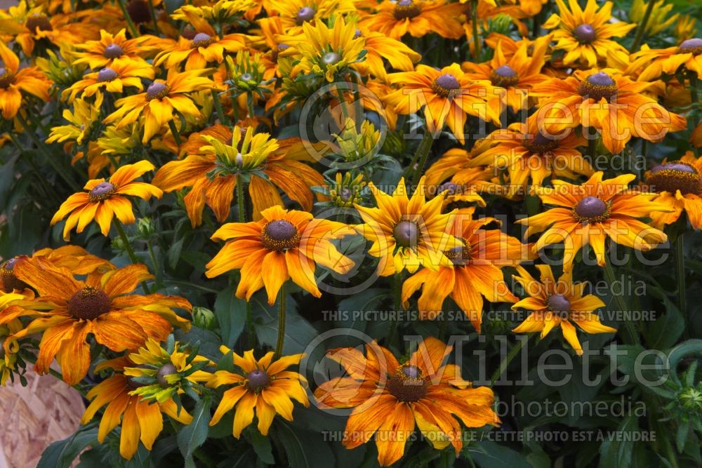 Echibeckia Summerina Butterscotch Biscuit (Black-eyed Susan gloriosa daisy) 4