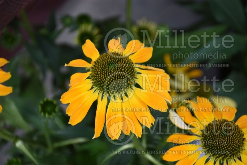 Echinacea Butterfly Golden Skipper (Coneflower) 1