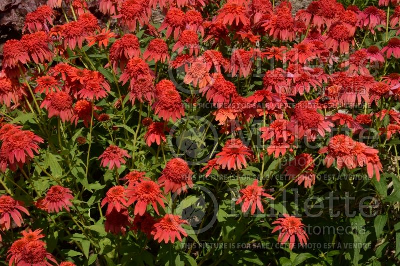 Echinacea Double Scoop Mandarin or Balscandin (Coneflower) 2