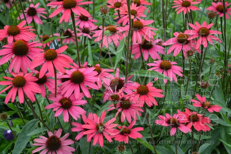 Echinacea Glowing Dream (Coneflower) 3
