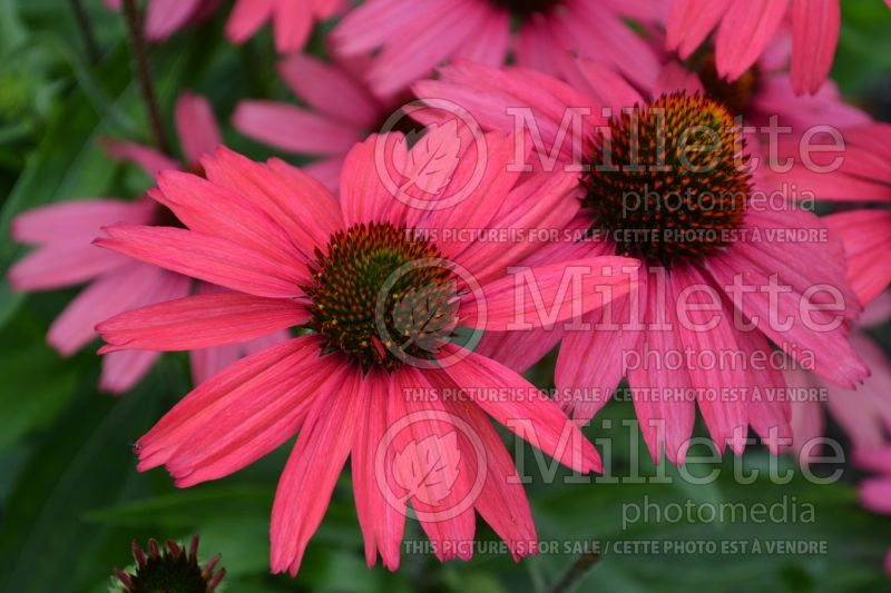Echinacea Glowing Dream (Coneflower) 4