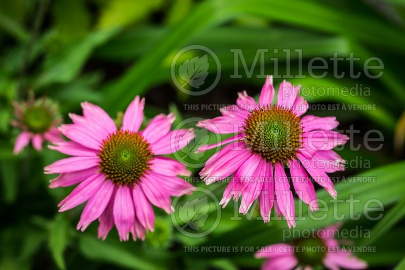 Echinacea Little Annie (Coneflower) 3
