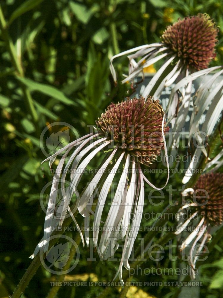 Echinacea Hula Dancer (Coneflower) 2