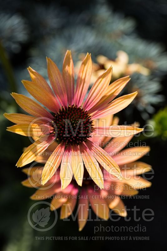 Echinacea Evening Glow (Coneflower) 2