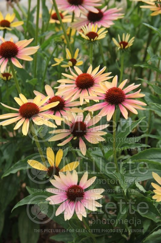 Echinacea Evening Glow (Coneflower) 1