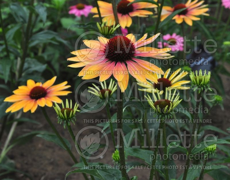 Echinacea Evening Glow (Coneflower) 4