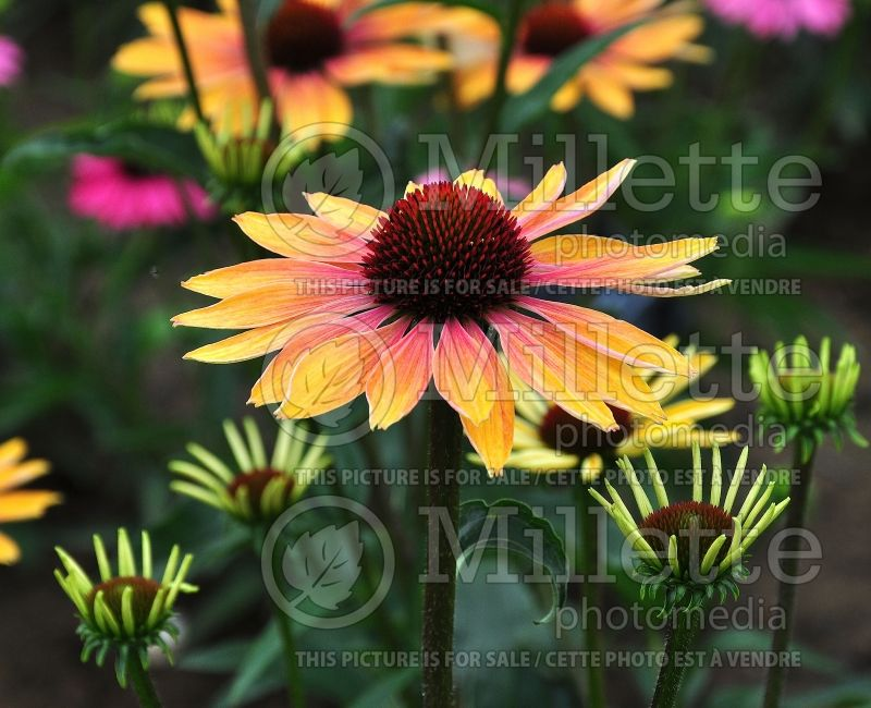 Echinacea Evening Glow (Coneflower) 3