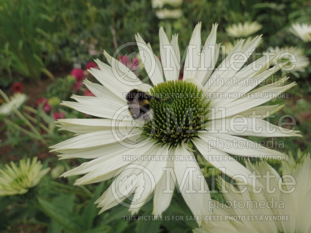 Echinacea Virgin (Coneflower) 6