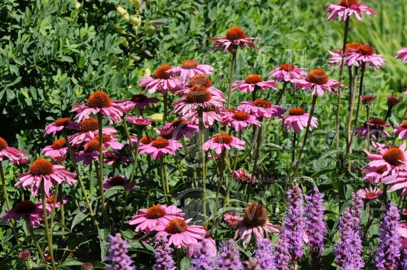 Echinacea Ruby Star or Rubinstern (Coneflower) 1