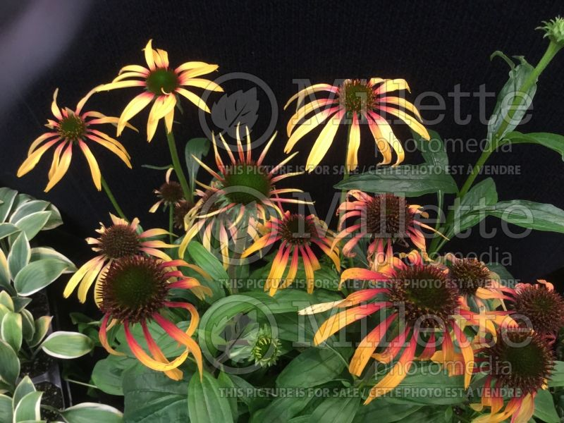 Echinacea Smoothie Strawberry Mango (Coneflower) 1