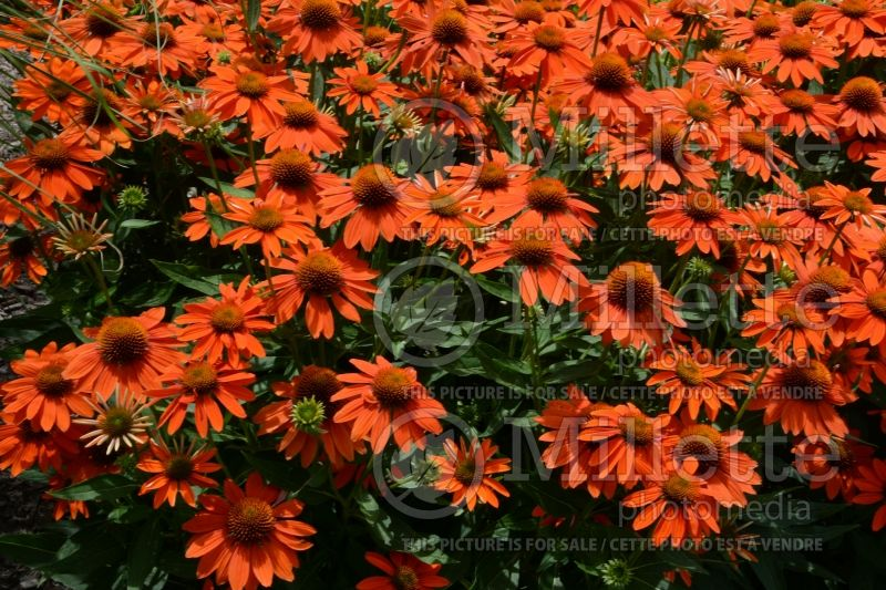 Echinacea Sombrero Adobe Orange (Coneflower) 5