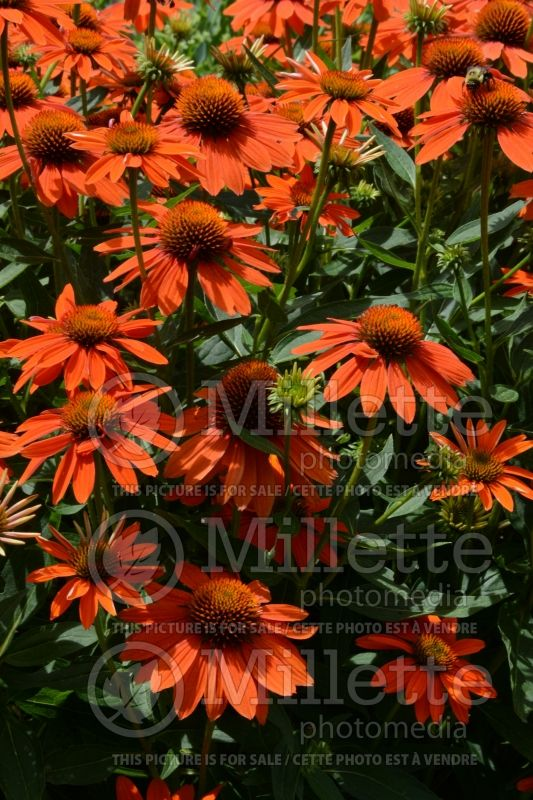 Echinacea Sombrero Adobe Orange (Coneflower) 6