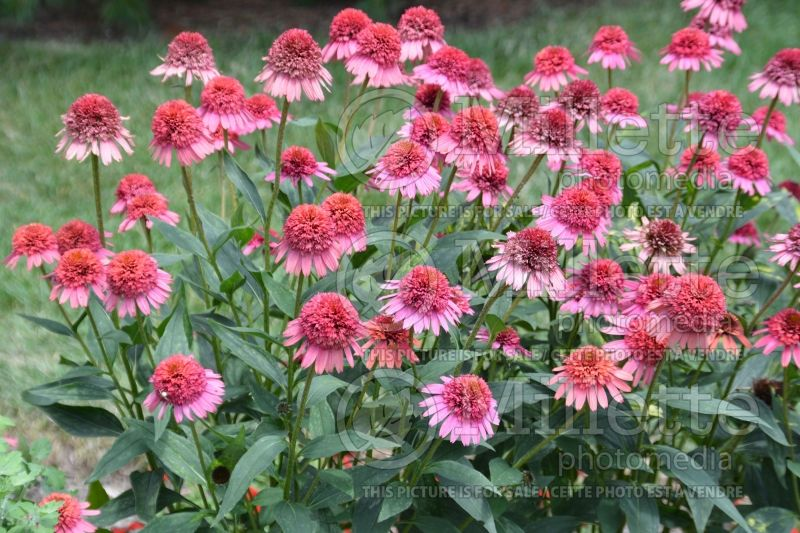 Echinacea Supreme Flamingo (Coneflower) 4