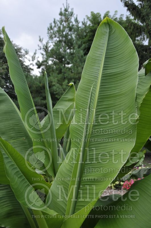 Ensete glaucum (Snow Banana) 2