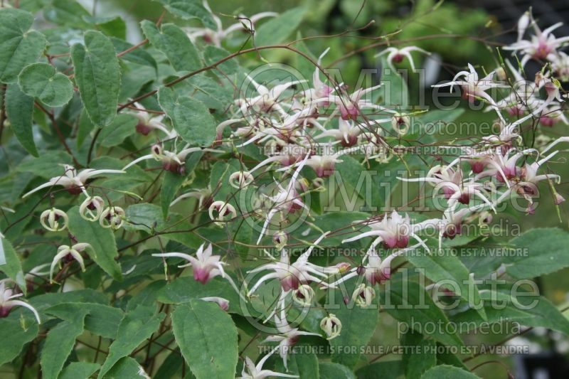 Epimedium Domino (Barrenwort) 2
