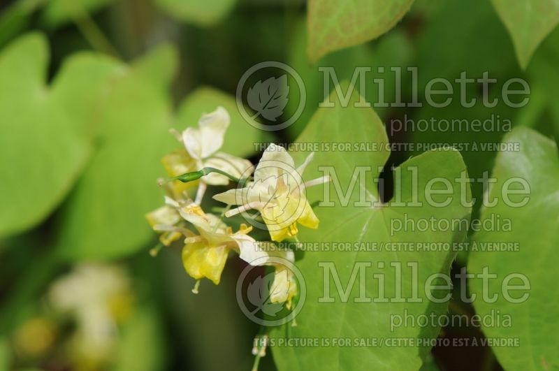 Epimedium Pallidum (Barrenwort) 2