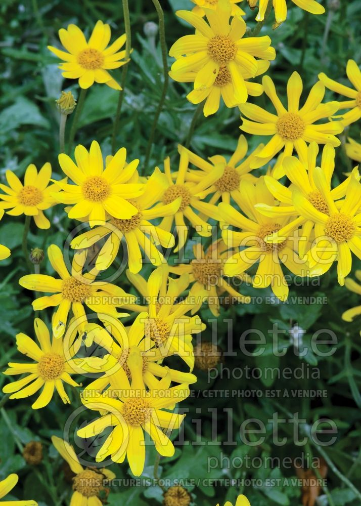 Eriophyllum lanatum (woolly sunflower) 2