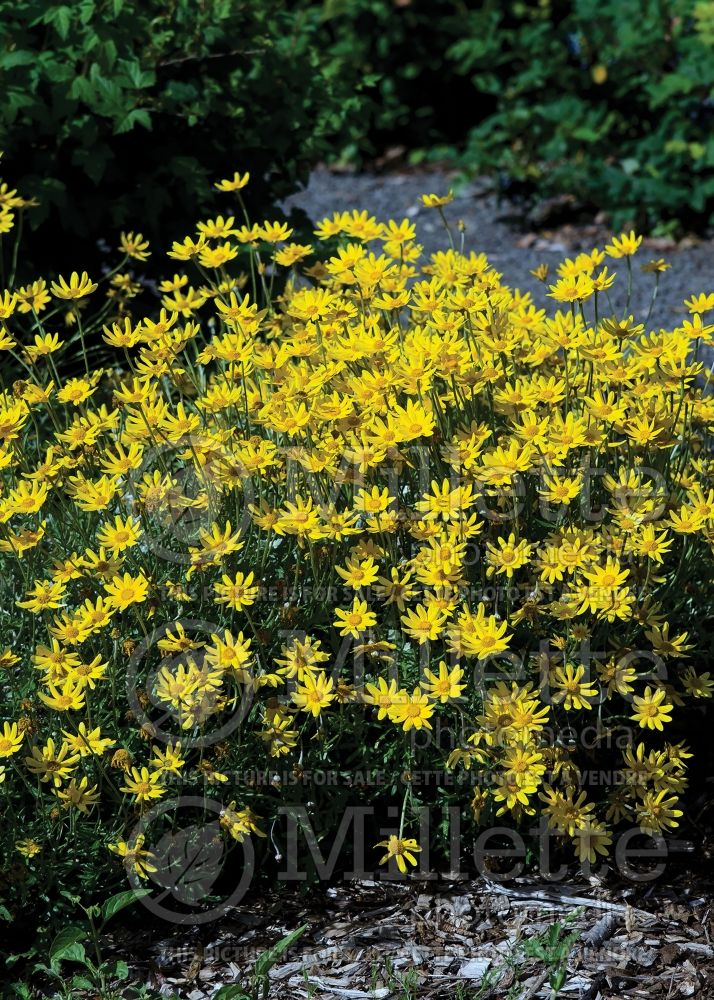 Eriophyllum lanatum (woolly sunflower) 3