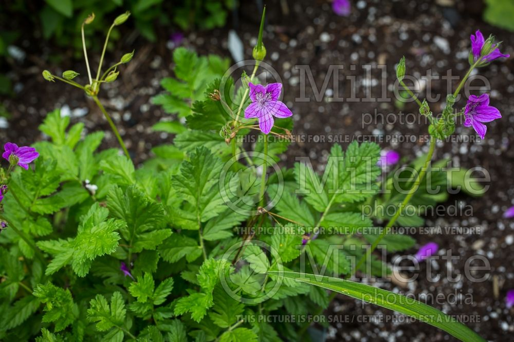 Erodium manescavi (Heron's Bill) 1