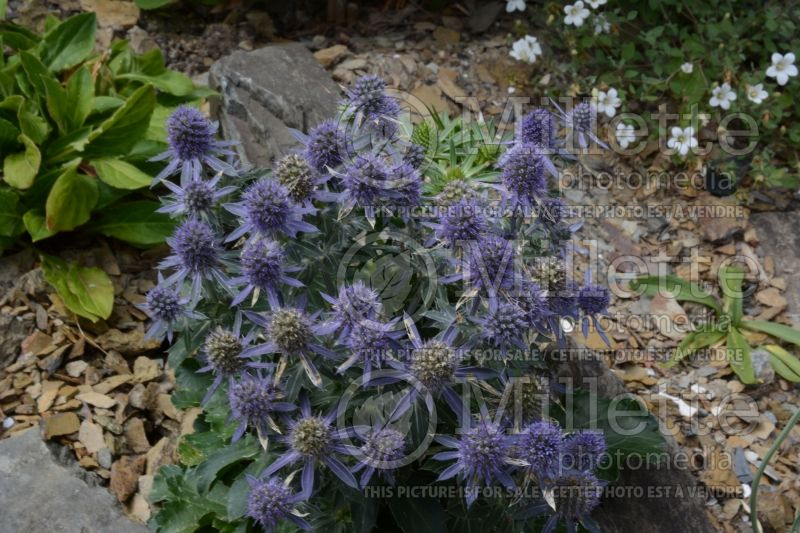 Eryngium Blue Hobbit (Sea Holly) 3