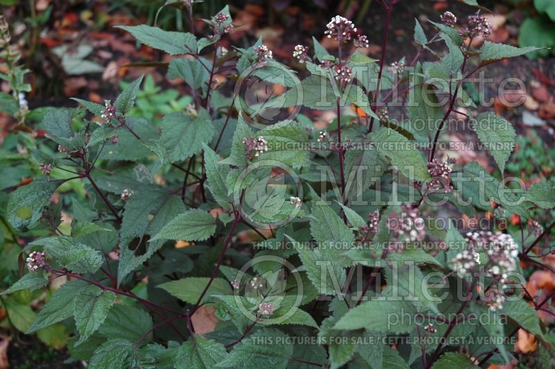 Eupatorium Chocolate (Joe Pye weed) 6
