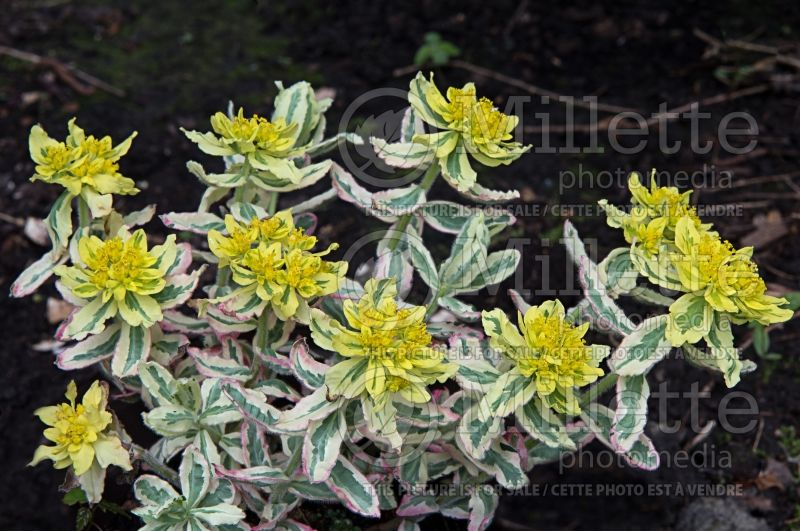 Euphorbia First Blush (Spurge) 5