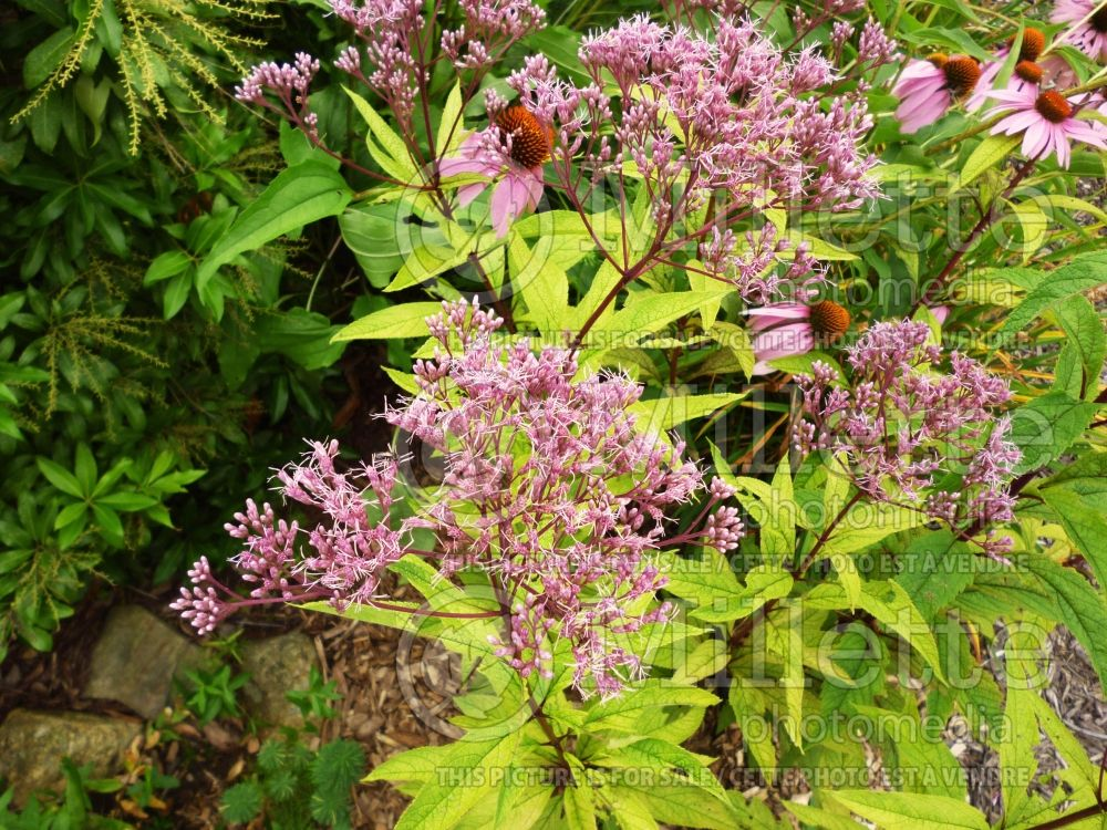 Eutrochium aka Eupatorium Little Joe (formerly Eupatorium) (Joe Pye weed) 2