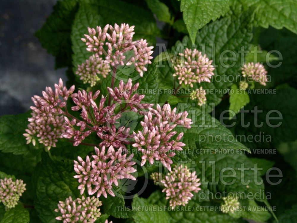 Eutrochium aka Eupatorium Little Joe (formerly Eupatorium) (Joe Pye weed) 10